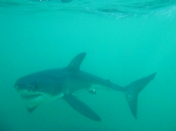 Great White Shark Dive in South Africa